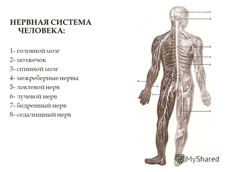 НЕРВНАЯ СИСТЕМА ЧЕЛОВЕКА: 1- головной мозг 2- мозжечок 3- спинной мозг 4- межреберные нервы 5- локтевой нерв 6- лучевой нерв 7- бедренный нерв 8- седалищный нерв