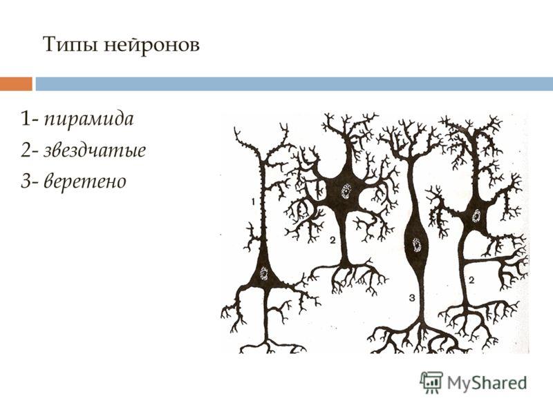 Типы нейронов 1- пирамида 2- звездчатые 3- веретено