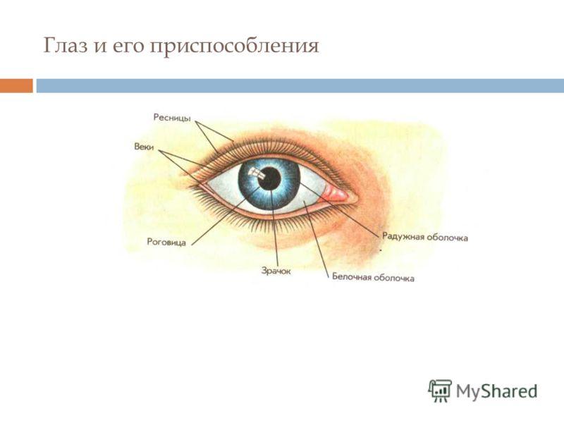 Глаз и его приспособления