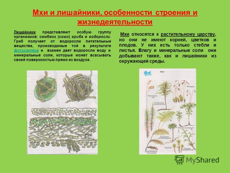 Мхи и лишайники, особенности строения и жизнедеятельности Лишайники представляют особую группу организмов: симбиоз (союз) гриба и водоросли. Гриб получает от водоросли питательные вещества, производимые той в результате фотосинтеза и взамен дает водо
