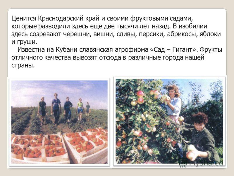 Ценится Краснодарский край и своими фруктовыми садами, которые разводили здесь еще две тысячи лет назад. В изобилии здесь созревают черешни, вишни, сливы, персики, абрикосы, яблоки и груши. Известна на Кубани славянская агрофирма «Сад – Гигант». Фрук