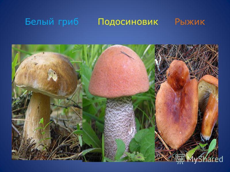 Белый гриб Подосиновик Рыжик