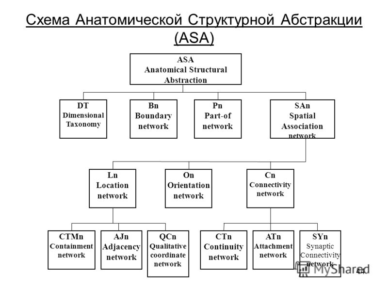 44 Схема Анатомической Структурной Абстракции (ASA) ASA Anatomical Structural Abstraction DT Dimensional Taxonomy Bn Boundary network Pn Part-of network SAn Spatial Association network Cn Connectivity network On Orientation network Ln Location networ