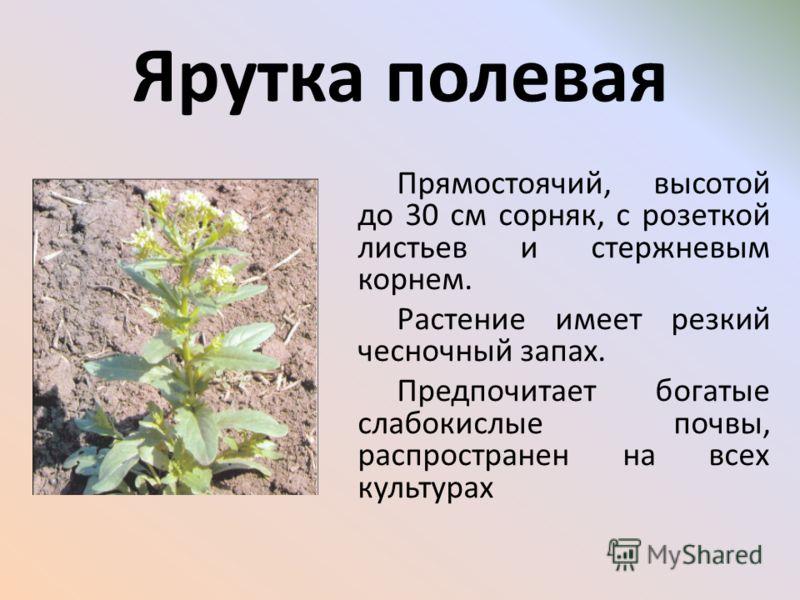 Прямостоячий, высотой до 30 см сорняк, с розеткой листьев и стержневым корнем. Растение имеет резкий чесночный запах. Предпочитает богатые слабокислые почвы, распространен на всех культурах Ярутка полевая