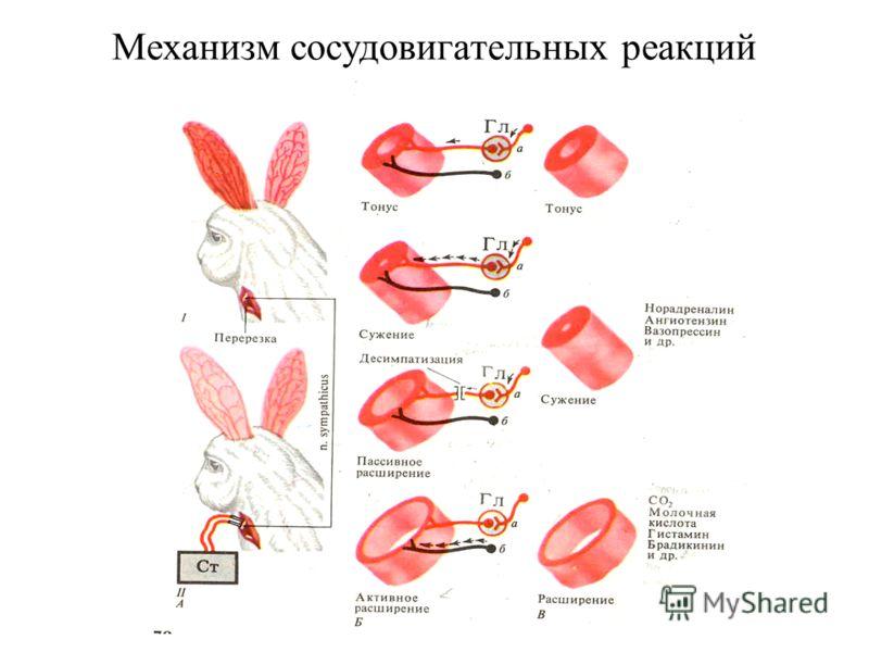 Механизм сосудовигательных реакций