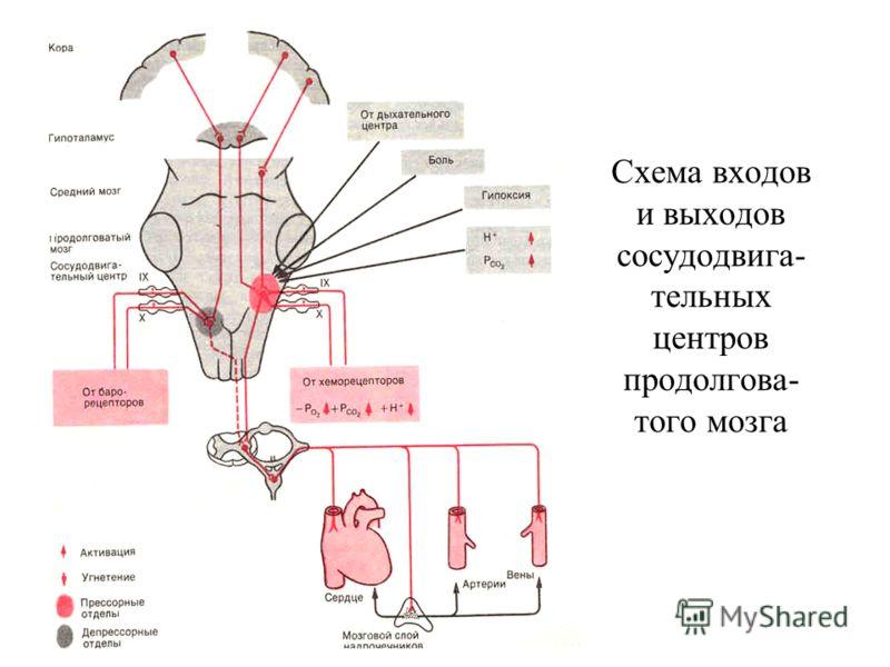 Схема входов и выходов сосудодвига- тельных центров продолгова- того мозга