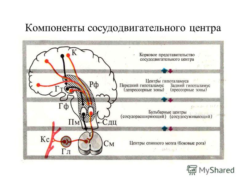 Компоненты сосудодвигательного центра