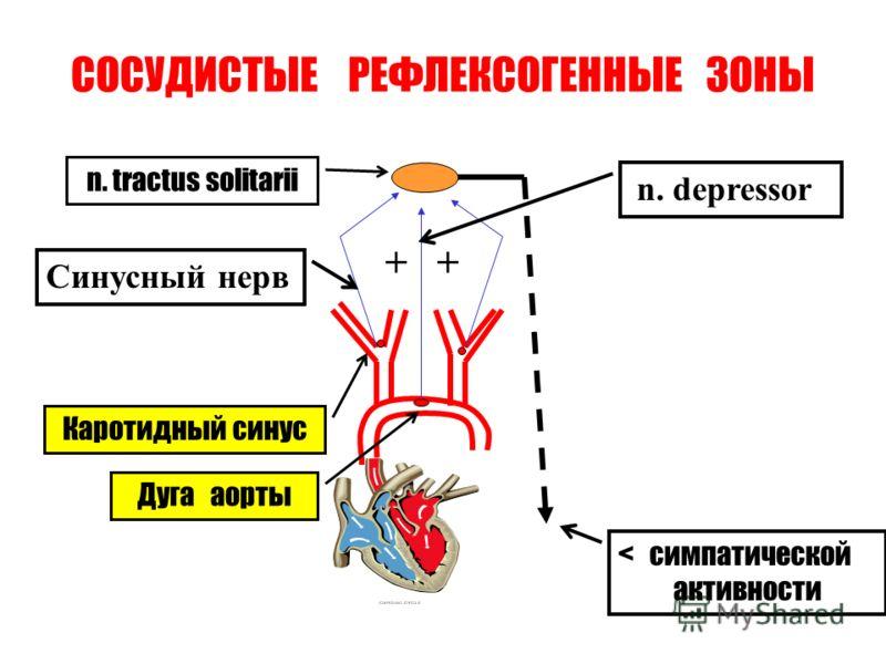 СОСУДИСТЫЕ РЕФЛЕКСОГЕННЫЕ ЗОНЫ Дуга аорты Каротидный синус n. tractus solitarii < симпатической активности + + n. depressor Синусный нерв