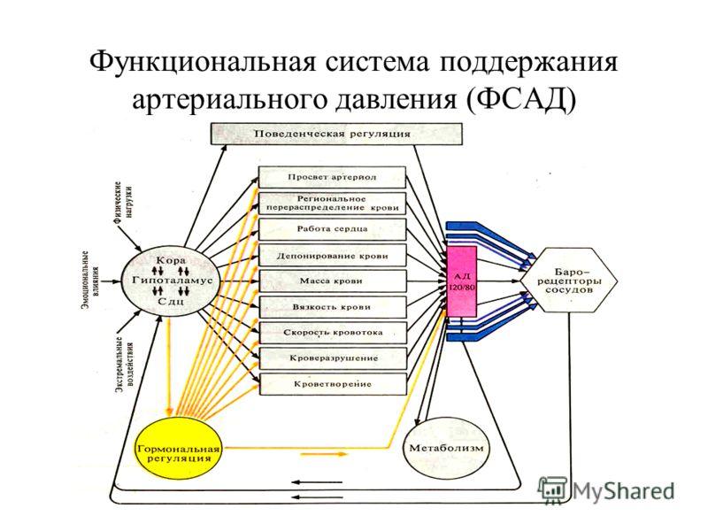 Функциональная система поддержания артериального давления (ФСАД)