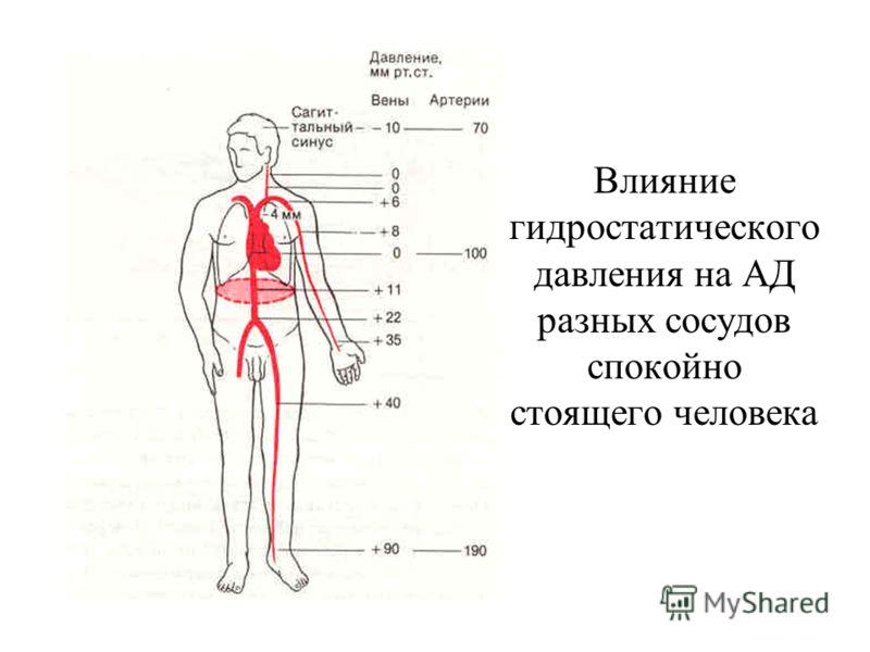 Влияние гидростатического давления на АД разных сосудов спокойно стоящего человека