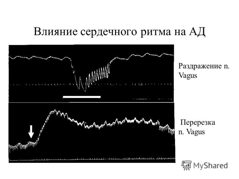 Влияние сердечного ритма на АД Раздражение n. Vagus Перерезка n. Vagus