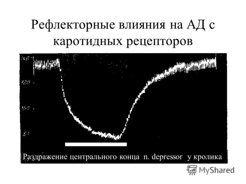 Рефлекторные влияния на АД с каротидных рецепторов Раздражение центрального конца n. depressor у кролика