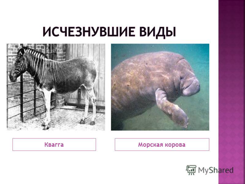 КваггаМорская корова