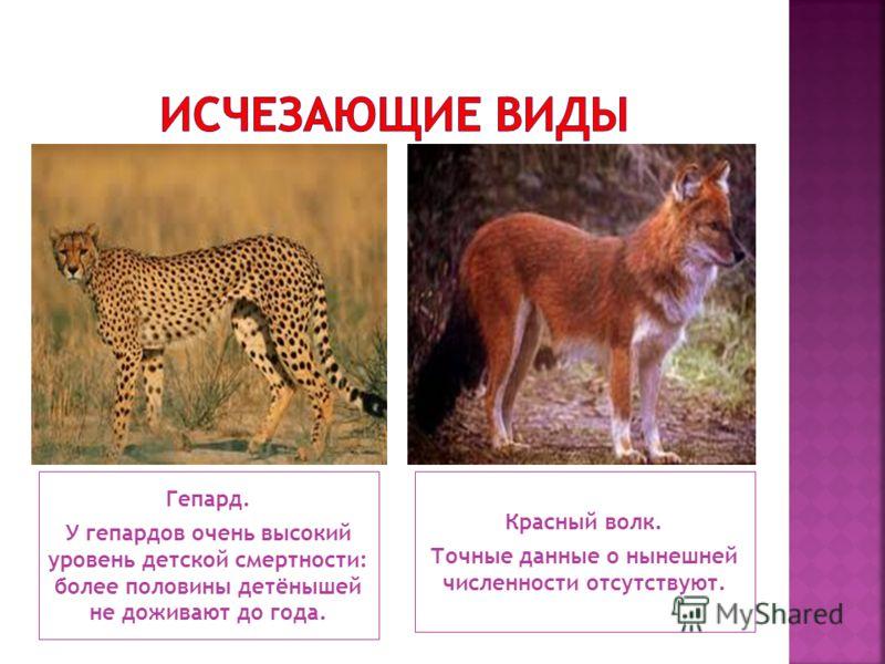 Гепард. У гепардов очень высокий уровень детской смертности: более половины детёнышей не доживают до года. Красный волк. Точные данные о нынешней численности отсутствуют.