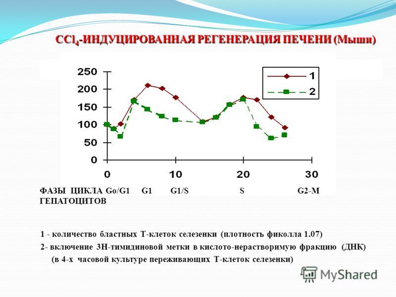 ССl 4 -ИНДУЦИРОВАННАЯ РЕГЕНЕРАЦИЯ ПЕЧЕНИ (Мыши) 1 - количество бластных Т-клеток селезенки (плотность фиколла 1.07) 2- включение 3Н-тимидиновой метки в кислото-нерастворимую фракцию (ДНК) (в 4-х часовой культуре переживающих Т-клеток селезенки) ФАЗЫ