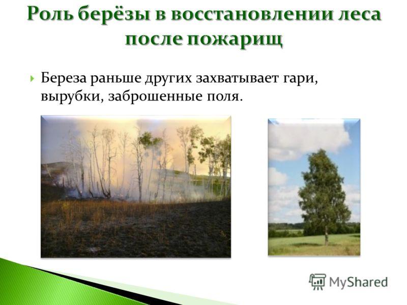 Береза раньше других захватывает гари, вырубки, заброшенные поля.