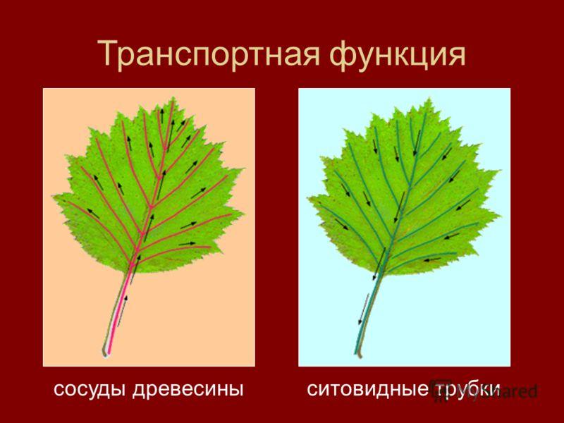 Транспортная функция сосуды древесиныситовидные трубки