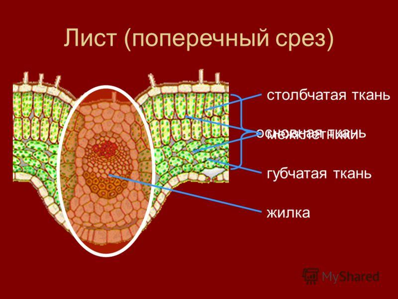 Лист (поперечный срез) основная ткань столбчатая ткань межклетники губчатая ткань жилка