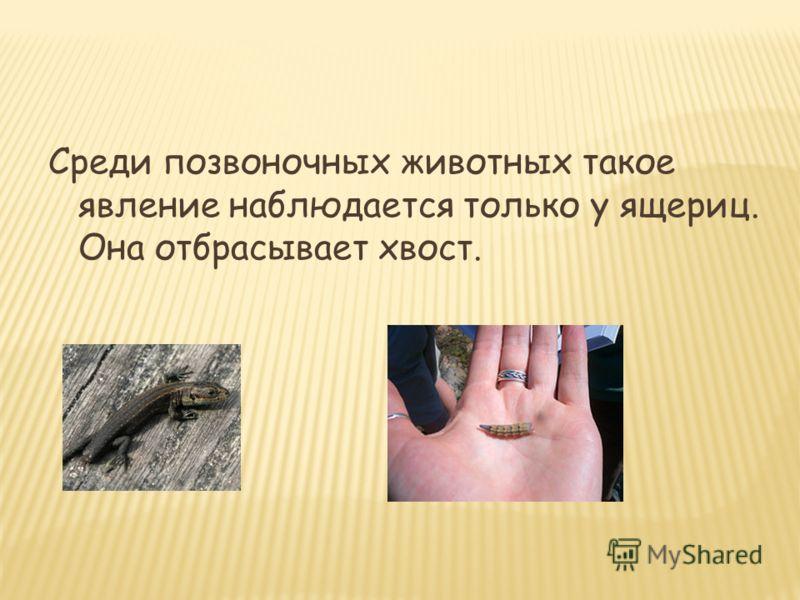 Среди позвоночных животных такое явление наблюдается только у ящериц. Она отбрасывает хвост.