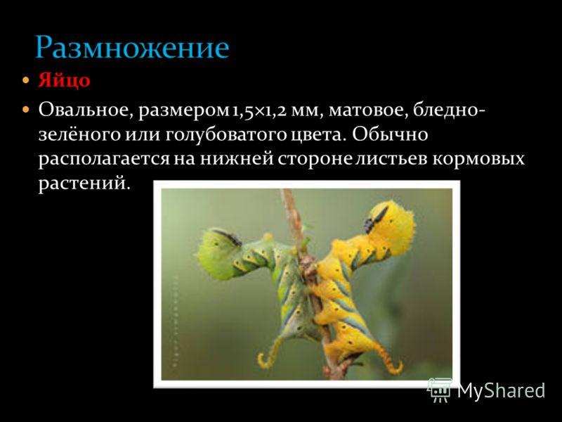 Дело в том, что у «мертвой головы» есть насос- хоботок, который втягивает, всасывает пищу. Правда, и у других бабочек имеются более или менее похожие насосы. Но только у «мертвой головы» в этом насосе есть ещё и тоненькая плёночка. Когда бабочка втяг