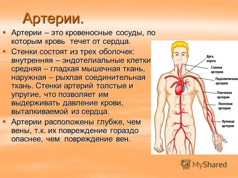 Артерии. Артерии – это кровеносные сосуды, по которым кровь течет от сердца. Артерии – это кровеносные сосуды, по которым кровь течет от сердца. Стенки состоят из трех оболочек: внутренняя – эндотелиальные клетки, средняя – гладкая мышечная ткань, на
