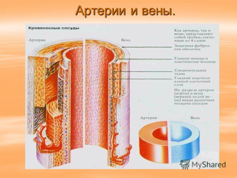 Артерии и вены.