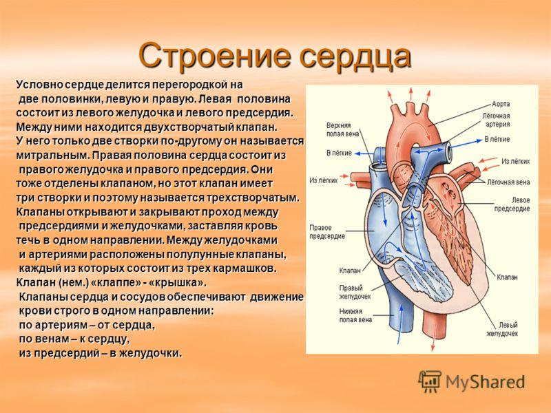 Строение сердца Условно сердце делится перегородкой на две половинки, левую и правую. Левая половина две половинки, левую и правую. Левая половина состоит из левого желудочка и левого предсердия. Между ними находится двухстворчатый клапан. У него тол