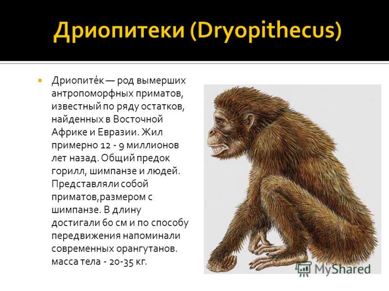 Дриопите́к род вымерших антропоморфных приматов, известный по ряду остатков, найденных в Восточной Африке и Евразии. Жил примерно 12 - 9 миллионов лет назад. Общий предок горилл, шимпанзе и людей. Представляли собой приматов,размером с шимпанзе. В дл