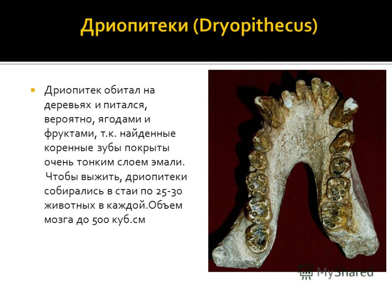 Дриопитек обитал на деревьях и питался, вероятно, ягодами и фруктами, т.к. найденные коренные зубы покрыты очень тонким слоем эмали. Чтобы выжить, дриопитеки собирались в стаи по 25-30 животных в каждой.Объем мозга до 500 куб.см