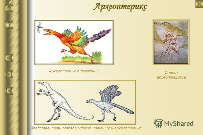 Археоптерикс Археоптерикс - яркий представитель промежуточной формы между рептилиями и птицами. Из юрских отложений Германии известен отпечаток удивительной сохранности - наличие перьев (типичная птичья черта) сомнений не вызывает. Однако, уникальных
