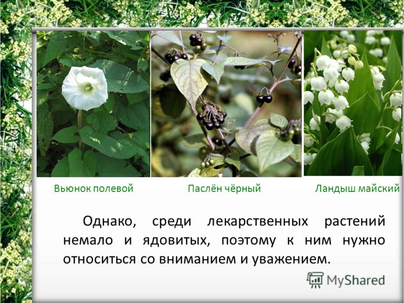 Однако, среди лекарственных растений немало и ядовитых, поэтому к ним нужно относиться со вниманием и уважением. Вьюнок полевойПаслён чёрныйЛандыш майский
