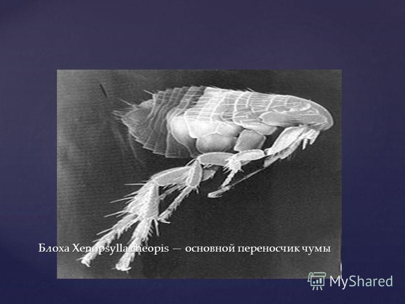 Блоха Xenopsylla cheopis основной переносчик чумы