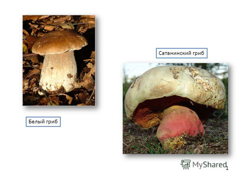 1 Белый гриб Сатанинский гриб