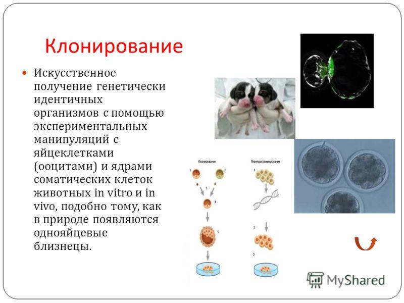Клонирование Искусственное получение генетически идентичных организмов с помощью экспериментальных манипуляций с яйцеклетками ( ооцитами ) и ядрами соматических клеток животных in vitro и in vivo, подобно тому, как в природе появляются однояйцевые бл