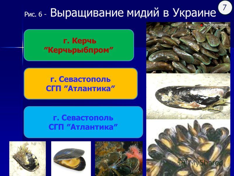 Рис. 6 - Выращивание мидий в Украине г. Керчь Керчьрыбпром г. Севастополь СГП Атлантика г. Севастополь СГП Атлантика 7