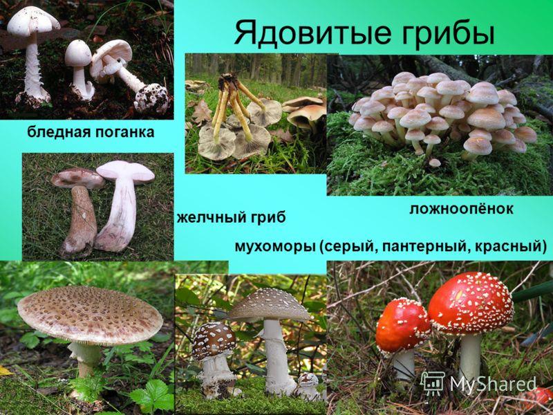 Ядовитые грибы бледная поганка ложноопёнок мухоморы (серый, пантерный, красный) желчный гриб