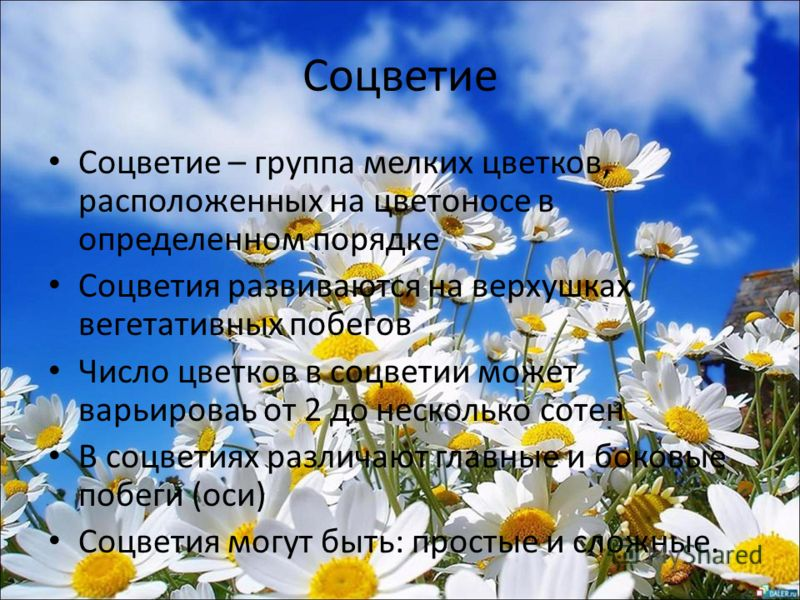 Соцветие Соцветие – группа мелких цветков, расположенных на цветоносе в определенном порядке Соцветия развиваются на верхушках вегетативных побегов Число цветков в соцветии может варьироваь от 2 до несколько сотен В соцветиях различают главные и боко