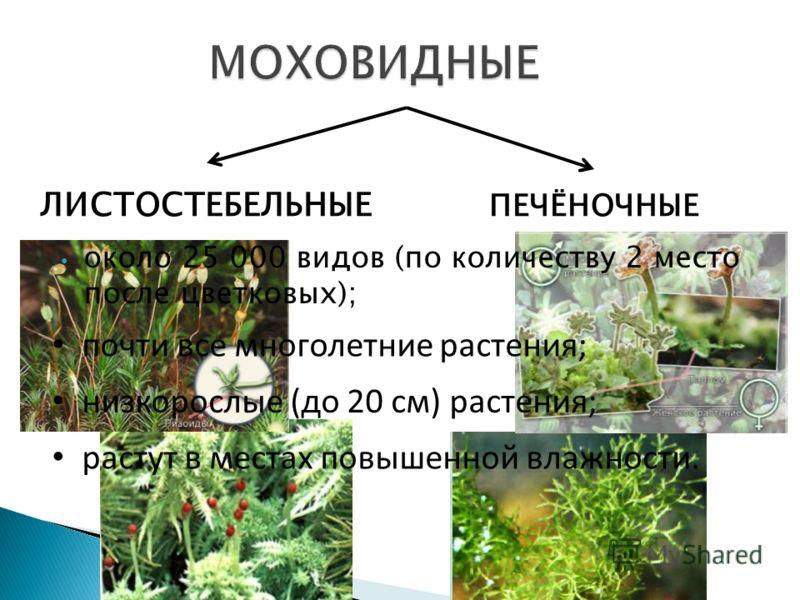 около 25 000 видов (по количеству 2 место после цветковых); ЛИСТОСТЕБЕЛЬНЫЕ ПЕЧЁНОЧНЫЕ почти все многолетние растения; низкорослые (до 20 см) растения; растут в местах повышенной влажности.