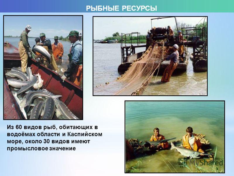Из 60 видов рыб, обитающих в водоёмах области и Каспийском море, около 30 видов имеют промысловое значение РЫБНЫЕ РЕСУРСЫ