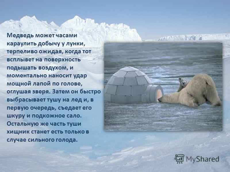 Медведь может часами караулить добычу у лунки, терпеливо ожидая, когда тот всплывет на поверхность подышать воздухом, и моментально наносит удар мощной лапой по голове, оглушая зверя. Затем он быстро выбрасывает тушу на лед и, в первую очередь, съеда