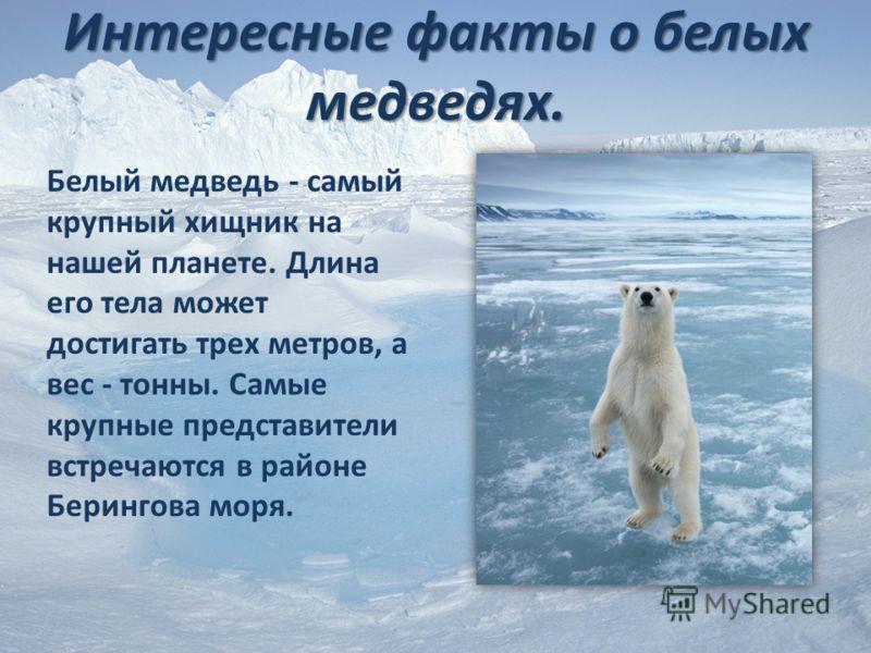 Интересные факты о белых медведях. Белый медведь - самый крупный хищник на нашей планете. Длина его тела может достигать трех метров, а вес - тонны. Самые крупные представители встречаются в районе Берингова моря.