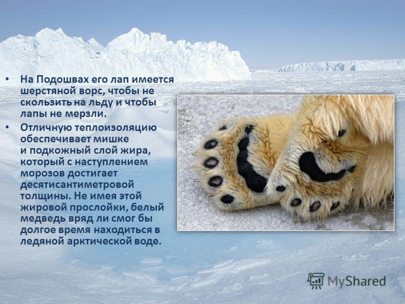 На Подошвах его лап имеется шерстяной ворс, чтобы не скользить на льду и чтобы лапы не мерзли. Отличную теплоизоляцию обеспечивает мишке и подкожный слой жира, который с наступлением морозов достигает десятисантиметровой толщины. Не имея этой жировой