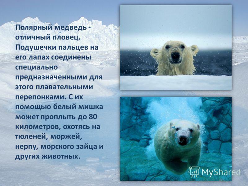 Полярный медведь - отличный пловец. Подушечки пальцев на его лапах соединены специально предназначенными для этого плавательными перепонками. С их помощью белый мишка может проплыть до 80 километров, охотясь на тюленей, моржей, нерпу, морского зайца