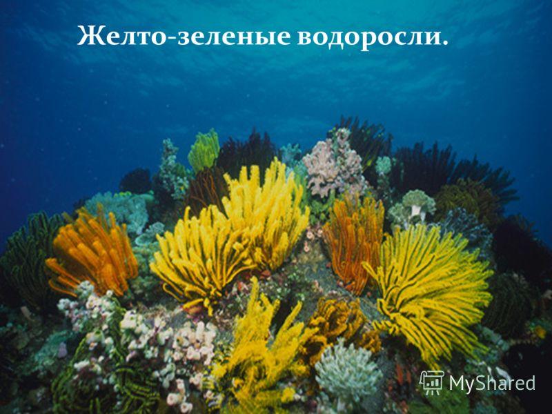 Желто-зеленые водоросли.