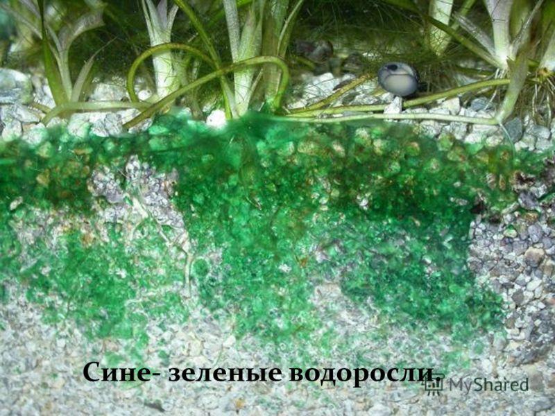 Сине- зеленые водоросли.