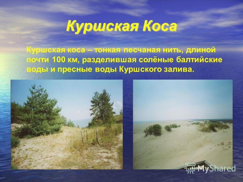Куршская Коса Куршская коса – тонкая песчаная нить, длиной почти 100 км, разделившая солёные балтийские воды и пресные воды Куршского залива.