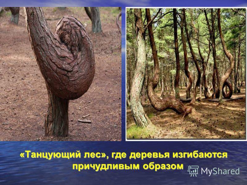 «Танцующий лес», где деревья изгибаются причудливым образом