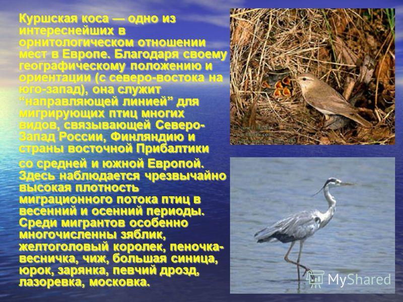 Куршская коса одно из интереснейших в орнитологическом отношении мест в Европе. Благодаря своему географическому положению и ориентации (с северо-востока на юго-запад), она служит направляющей линией для мигрирующих птиц многих видов, связывающей Сев