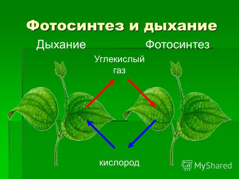Фотосинтез и дыхание Фотосинтез Дыхание кислород Углекислый газ