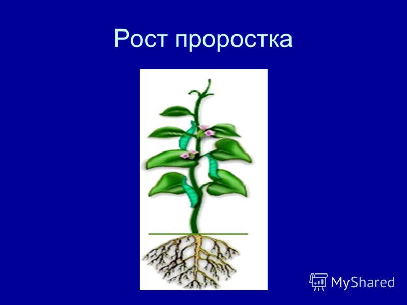Рост проростка